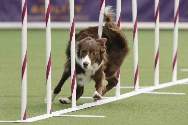 Elf, a Border Collie, runs the weave pole at the  first annual Masters Agility Championship the Westminster Kennel Club staged at Pier 94, Saturday, February 8, 2014, in New York. (Photo by John Minchillo/AP Photo)