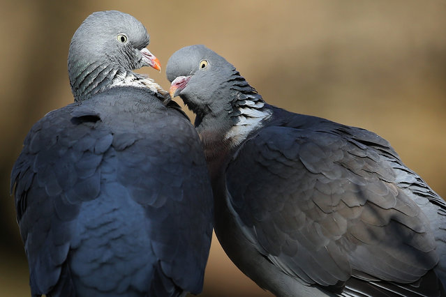 Wood Pigeons preen each other in St James's Park on March 14, 2016 in London, England. (Photo by Dan Kitwood/Getty Images)