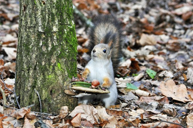 One hungry squirrel proved to be nuts about presentation, after laying its own table before settling down for a morning meal. The squirrel was snapped in Moscow in Russia. (Photo by Caters News)