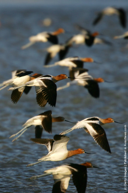 Avocets in breeding plumage fly over restored water that covers portions of the salty crust of mostly-dry Owens Lake