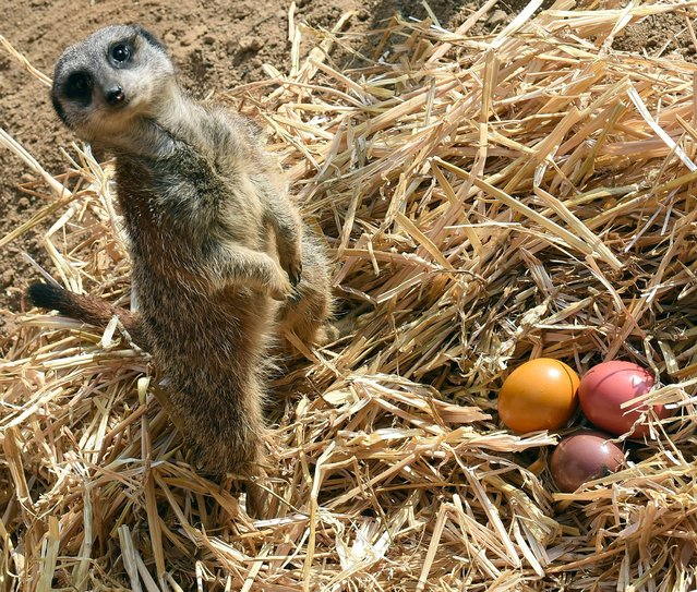 A meerkat guards colored Easter eggs at the zoo in Hannover, Germany, Thursday, April 3, 2014. The zoo keepers surprised the animals with an Easter egg hunt on the first day of the Lower-Saxon Easter school holidays. (Photo by Holger Hollemann/AP Photo/DPA)