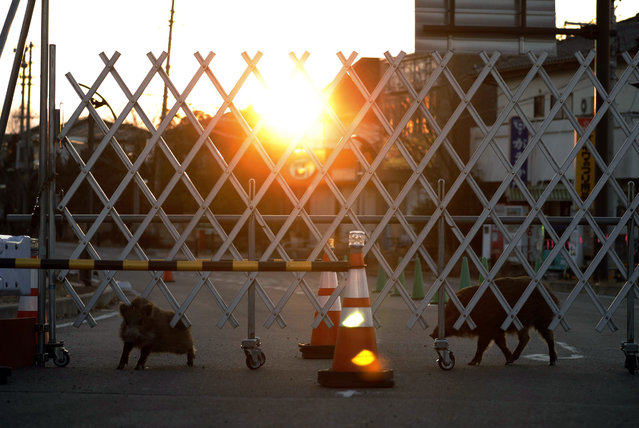 Boars roam near a barricade set up to restrict the entry to difficult-to-return zones in Futaba, near the tsunami-crippled Fukushima Dai-ichi nuclear plant, Fukushima prefecture, Japan Saturday, March 11, 2017. On Saturday, Japan is marking the anniversary of the 2011 massive earthquake and tsunami that struck the nation. (Photo by Kota Endo/Kyodo News via AP Photo)