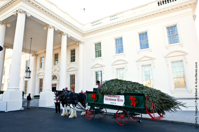 The official White House Christmas Tree arrives via horse-drawn carriage at the White House