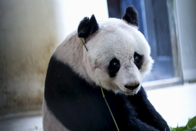 36-year-old giant panda Jia Jia, sits in her enclosure at the Hong Kong Ocean Park, China July 9, 2015. (Photo by Tyrone Siu/Reuters)