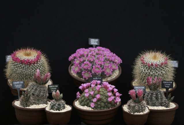 A  display of cacti is displayed during preparations for the RHS Chelsea Flower Show in London, Britain May 21, 2016. (Photo by Neil Hall/Reuters)