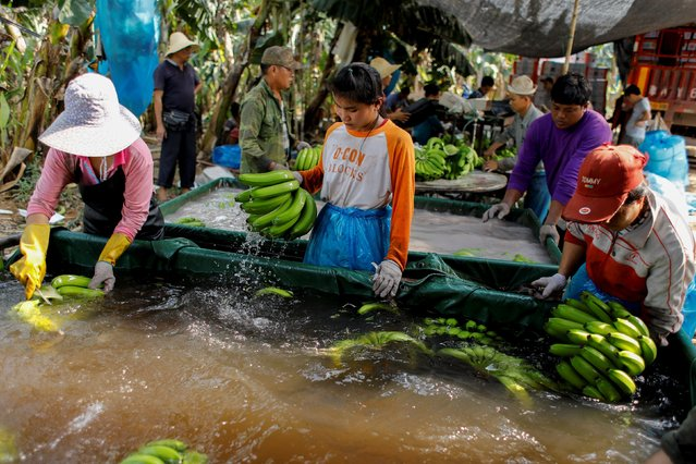 Workers wash bananas in a packing line inside a banana plantation operated by a Chinese company in the province of Bokeo, Laos April 25, 2017. (Photo by Jorge Silva/Reuters)