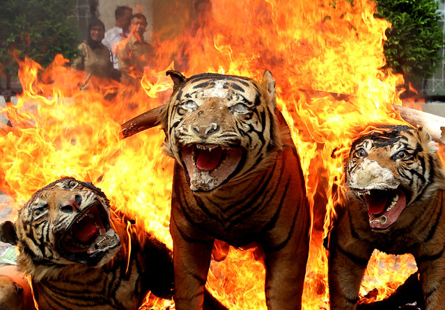 Confiscated rare and protected wildlife products such as these stuffed Sumatran tiger skins are burned and destroyed during a ceremony by government forestry and wildlife officials in Banda Aceh, Aceh province, Indonesia May 23, 2016 in this photo taken by Antara Foto. (Photo by Irwansyah Putra/Reuters/Antara Foto)