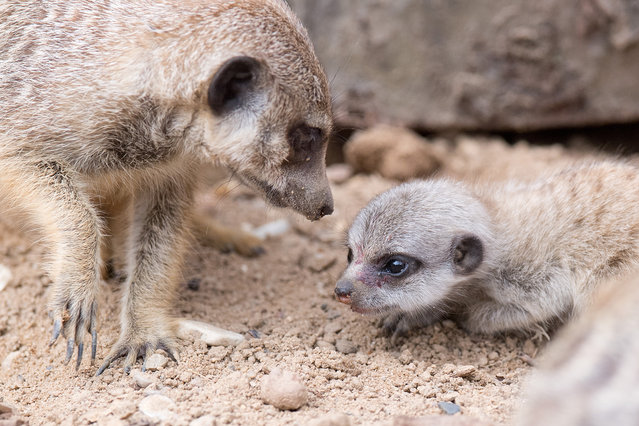 A meerkat pup (R) sits in its enclosure at the zoo in Hanover, Germany, 27 May 2016. Five meerkat pups are roaming the enclosure since a couple of days. (Photoby Julian Stratenschulte/DPA via ZUMA Press)