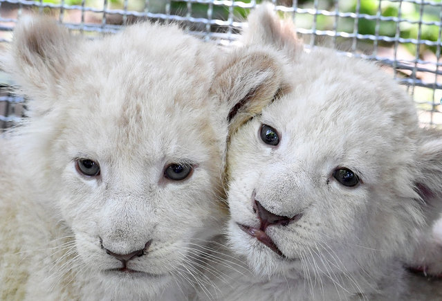 White lion cubs seen at the zoo inMagdeburg, Germany, June 8, 2016. The seven-week-old baby lions weigh more than five kilogrammes each and are reared by hand. White lions are a rare color mutation among African Lions that occurs in nature as well. (Photo by Hendrik Schmidt/ZUMA Press)