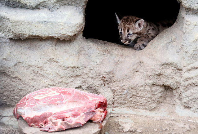 A one-month-old North American cougar cub looks at a slab of meat at the Royev Ruchey zoo in a suburb of the Siberian city of Krasnoyarsk, Russia, July 26, 2017. (Photo by Ilya Naymushin/Reuters)