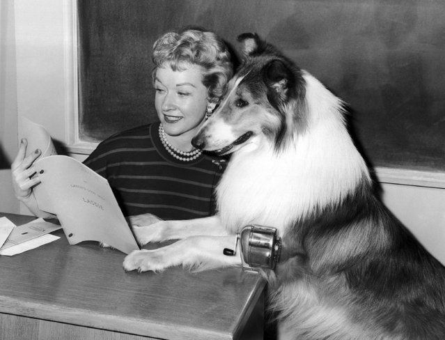 """Bonita Granville Wrather, associate producer of the """"Lassie"""" series being taped in Hollywood, and Lassie look over the script, May 31, 1962. (Photo by AP Photo)"""