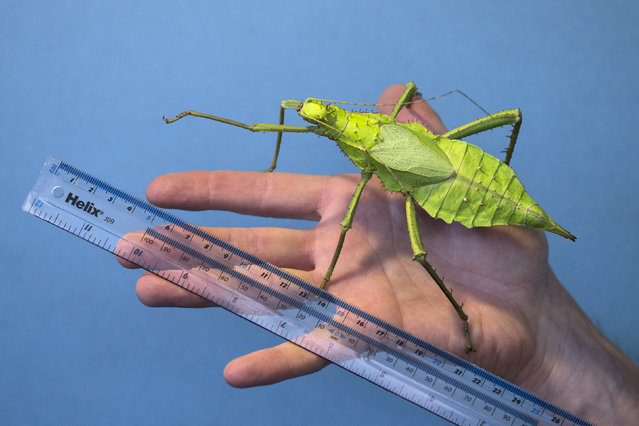 "A ""jungle nymph"" is measured during the annual weight-in ZSL London Zoo on August 21, 2014 in London, England. The height and mass of every animal in the zoo, of which there are over 16,000, is recorded and submitted to the Zoological Information Management System. This is combined with animal measurement data collected from over 800 zoos and aquariums in almost 80 countries, from which zoologists can compare information on thousands of endangered species.  (Photo by Oli Scarff/Getty Images)"