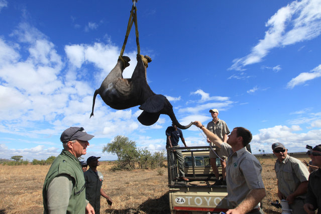 In this Tuesday July 12, 2016 photo, an elephant is lifted by a crane in an upside down position in Lilongwe, Malawi, in the first step of an assisted migration of 500 of the threatened species. African Parks, which manages three Malawian reserves is moving the 500 elephants from Liwonde National Park, this month and next, and again next year when vehicles can maneuver on the rugged terrain during Southern Africa's dry winter. (Photo by Tsvangirayi Mukwazhi/AP Photo)