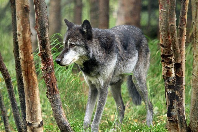 """Denali, a male gray wolf, walks between trees at the Alaska Zoo, on September 5, 2012 in Anchorage, Alaska. The 6-year-old wolf is one of two candidates for Zoo """"president"""" in a fundraiser that matches the timing of the U.S. presidential race. He's running against Ahpun, a polar bear, and ballots are $1. (Photo by Dan Joling/AP Photo)"""
