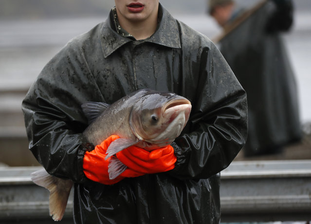 A fisherman carries a silver carp during a traditional fish haul at the Horusicky pond near the town of Veseli nad Luznici, Czech Republic, Tuesday, October 24, 2017. (Photo by Petr David Josek/AP Photo)