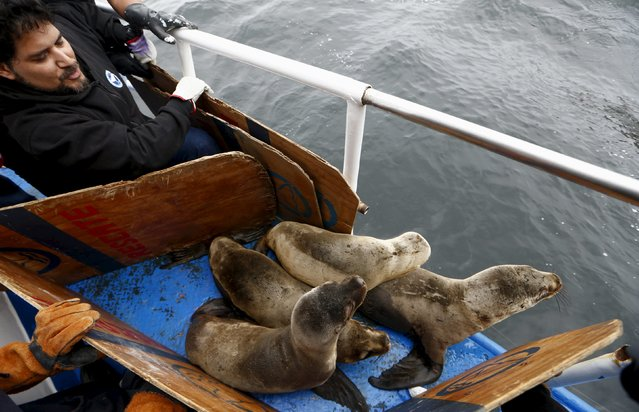 Carlos Yaipen, Director of Animal Science and Well-being Organization (ORCA), releases sea lions, Han, Job, Kukin and Fabiana, in front of Palomino island, in Callao, Peru September 12, 2015. (Photo by Mariana Bazo/Reuters)