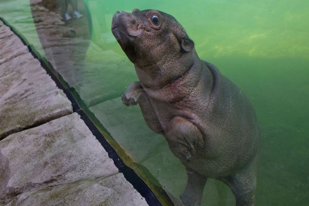 A young female hippo born on June 7 named Gloria swims inside its enclosure on June 23, 2020 in the Zooparc of Beauval in Saint-Aignan, Central France. (Photo by Guillaume Souvant/AFP Photo)