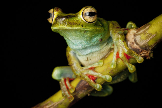 A Canal Zone Treefrog, Hypsiboas rufitelus, in the Chocó of Colombia with a shock of red webbing between the toes. (Photo by Robin Moore)
