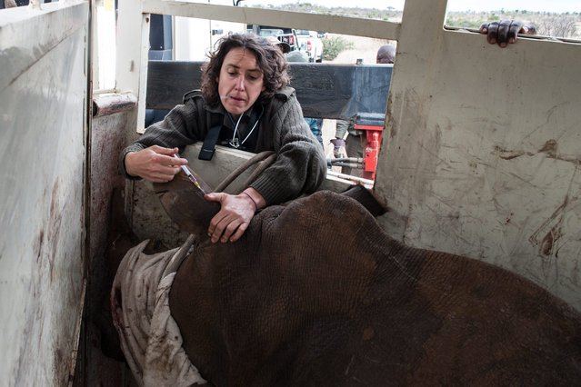 Dr Jenny Hewllet a veterinarian at the Kruger National Park injects a white rhino with a sedative on October 17, 2014. (Photo by Stefan Heunis/AFP Photo)
