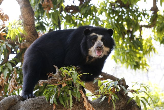 """""""Cholita"""" a Spectacled bear walks on a tree at the dry forest of the Chaparri Natural Reserve in Peru's northern region of Lambayeque October 19, 2014. """"Cholita"""" was rescued when was living as a pet and is now in the process of adaptation to return to their natural habitat, living in semi-captivity. (Photo by Mariana Bazo/Reuters)"""