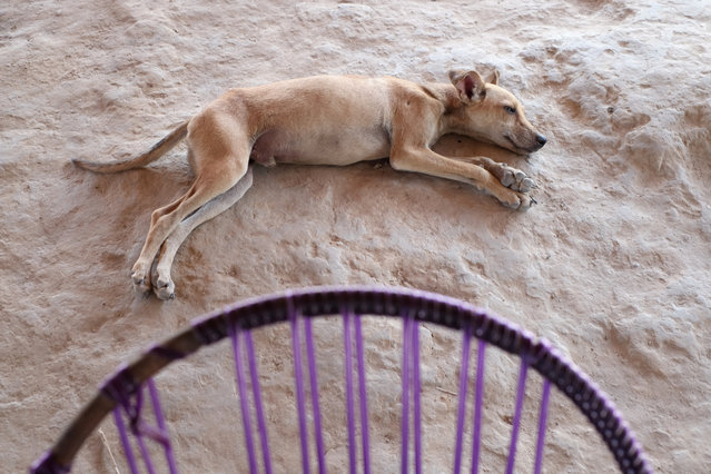 A dog snoozes in Bacuri Dois Village in Araribóia Indigenous Reserve, Maranhão, Brazil on August 8, 2015. (Photo by Bonnie Jo Mount/The Washington Post)