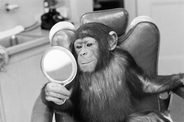 """Kelly the acting chimp, whose real nose is too flat for his role in """"Escape From the Planet of the Apes"""", looks in a mirror at a human-style plastic nose made for him by a film studio technician in Hollywood, January 20, 1971. (Photo by David F. Smith/AP Photo)"""