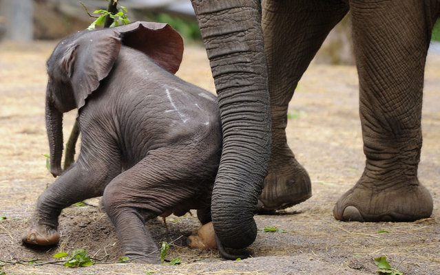 """Baby elephant """"Moyo"""" stands next to his mother """"Sabie"""" during his first outing at the Zoo in Wuppertal, western Germany, on May 15, 2013. """"Moyo"""" was born on May 13, 2013 at the Zoo. (Photo by Marius Becker/AFP Photo)"""
