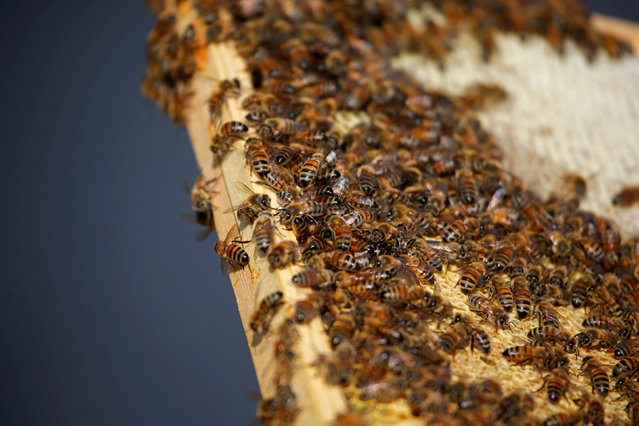Bees are gather on a beehive frame in Stockholm, Sweden, September 13, 2016. (Photo by Maxim Shemetov/Reuters)