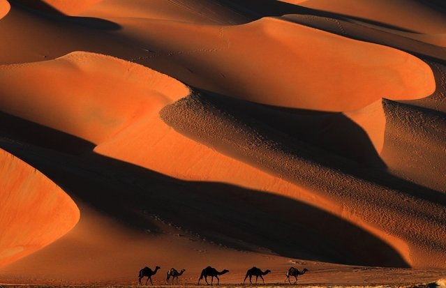 Camels walk across the Liwa desert, some 250 kilometres west of the Gulf emirate of Abu Dhabi, during the Liwa 2018 Moreeb Dune Festival on January 2, 2018. The festival, which attracts participants from around the Gulf region, includes a variety of races (cars, bikes, falcons, camels and horses) or other activities aimed at promoting the country's folklore. (Photo by Karim Sahib/AFP Photo)