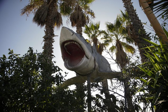 "In this Wednesday, November 11, 2015 photo, one of the giant mechanical sharks that starred in the movie ""Jaws"" is seen at Aadlen Brothers Auto Wrecking, also known as U Pick Parts, in the Sun Valley section of Los Angeles. (Photo by Jae C. Hong/AP Photo)"