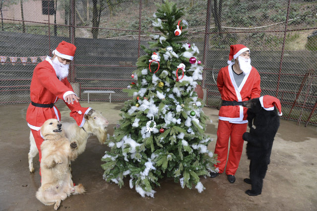 Trainers wearing Santa Claus costumes gather a dog (L), a goat and a black bear around a Christmas tree during a circus performance to celebrate the upcoming Christmas, in Changsha, Hunan province, China, December 24, 2015. (Photo by Reuters/China Daily)