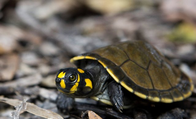 A quelonio turtle hatchling after being released near a lake of the Igapo-Acu community, by the Pe-de-Pincha project, in the Amazon municipality Careiro, February 5, 2015. (Photo by Bruno Kelly/Reuters)