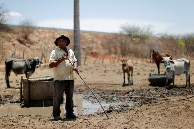 Farmer Francisco Emiliano, 58, looks after the cattle near the partially constructed Transnordestina railway track in the city of Missao Velha, Ceara state, northeast of Brazil, October 25, 2016. The rusting tracks of Brazil's Transnordestina railway peter out and give way to a dirt trail in a remote corner of the country's arid northeast, far from the ports or farms it was meant to serve. No trains run on these tracks and the cleared path for one of Brazil's most ambitious infrastructure projects is used only by local cars, and the odd stray cow. It was due to be delivered next month, but after 10 years of construction and 6 billion reais ($1.76 billion) of mostly public investment, the 1,700-km project is only half complete. (Photo by Ueslei Marcelino/Reuters)