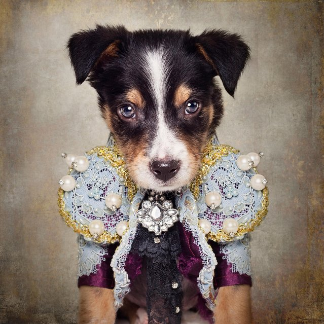 A puppy in a glamorous outfit, taken in El Dorado, Arkansas, December 2016. (Photo by Tammy Swarek/Barcroft Images)