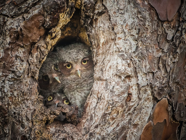 """Eastern Screech Owls like to take over woodpecker nests that have been dug out over the years in pine trees, which are the main species of tree at this swamp. Fish and wildlife also paint a white ring around the base of a tree that has active nests in order to avoid when conducting controlled burns. (Photo and caption by Graham McGeorge)"