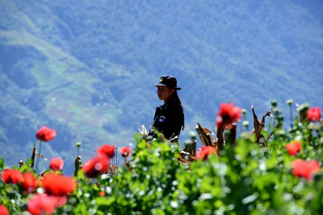 A female police officer is seen during an operation to destroy a poppy plantation in the 11 de Mayo village, Tajumulco nunicipality, San Marcos departament, 315 km northeast of Guatemala City, near the border with Mexico, on November 29, 2013. (Photo by Johan Ordonez/AFP Photo)