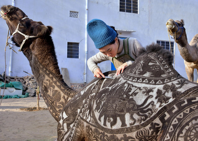 Japanese hairdresser Megumi Takeichi cuts patterns into the hair of a camel ahead of the Bikaner Camel Festival in Bikaner in the western Indian state of Rajasthan on January 10, 2019. (Photo by Dinesh Gupta/AFP Photo)