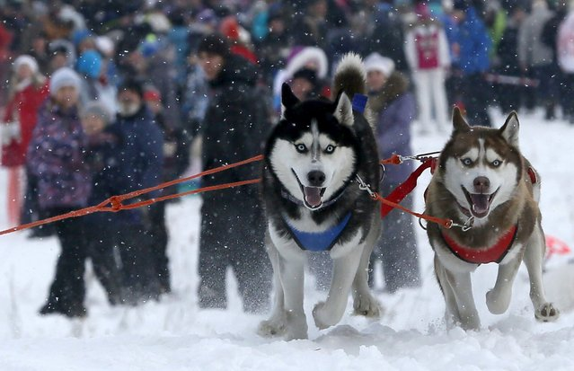 "Siberian Huskies pull a contestant during the ""Kara-Dag 2016"" open amateur dog sled and skijoring race near the village of Yelovoye in Taiga district, outside Krasnoyarsk, Siberia, Russia, February 21, 2016. Dogs and their owners from various regions of Siberia took part in an annual race. (Photo by Ilya Naymushin/Reuters)"