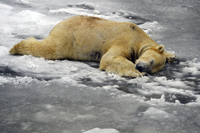 Polar bear Wolodja takes a nap in its enclosure in the Berlin Tierpark zoo. Sunday January 8, 2017. (Photo by Maurizio Gambarini/DPA via AP Photo)