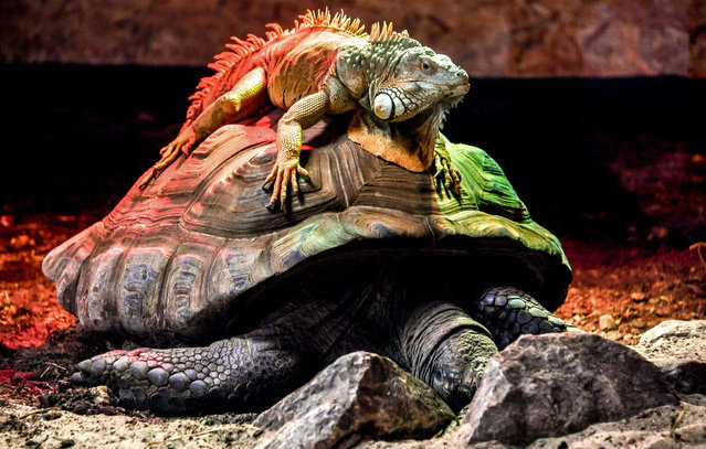 A green iguana, or American iguana sits on an Aldabra giant tortoise, the largest tortoise of the world, in their enclosure at the zoo park of Lille, northern France, on February 11, 2019. (Photo by Philippe Huguen/AFP Photo)