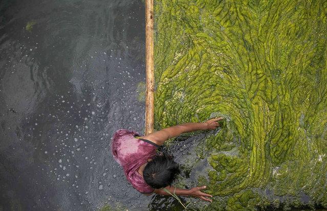 A Nepalese worker cleans algae at the Kamal Pokhari pond in Kathmandu, Nepal, Tuesday, July 27, 2021. (Photo by Niranjan Shrestha/AP Photo)