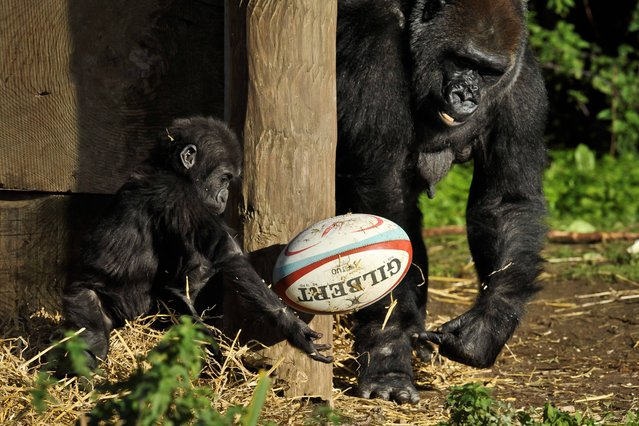 Kukena the baby Western Lowland Gorilla passes a rugby ball to his mum Salome on October, 29, 2013, after keepers placed rugby balls into the gorilla enclosure at Bristol Zoo as part of their enrichment programme, where they are given things to stimulate and encourage playful behaviour. (Photo by Ben Birchall/PA Wire)