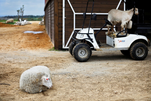 "A sheep and a goat are seen at ""Freedom Farm"", which serves as a refuge for mostly disabled animals in Moshav Olesh, Israel on March 7, 2019. (Photo by Nir Elias/Reuters)"