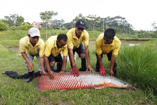Workers hold an 80 Kg Paiche (Arapaima gigas) to return it to a pool at a breeding farm in Nueva Loja, Ecuador, March 25, 2016. (Photo by Guillermo Granja/Reuters)