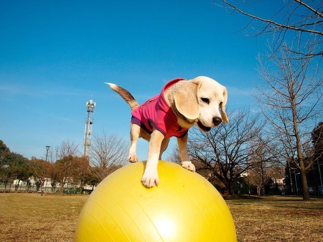 """This undated handout picture released by Guinness World Records on March 29, 2016 shows ten-year-old female Japanese beagle named Purin performing her skills balancing on a yoga ball in Tokyo. A floppy-eared Japanese beagle with paw-fect yoga skills has scampered into the record books after setting the world mark for the """"fastest 10 metres travelled on a ball by a dog"""". Ten-year-old female Purin – the Japanese for """"pudding"""" – shot to fame last year when footage of the fluffy pooch breaking the Guinness World Record for the """"most balls caught by a dog with the paws in one minute"""" went viral. (Photo by AFP Photo/Guinness World Records)"""