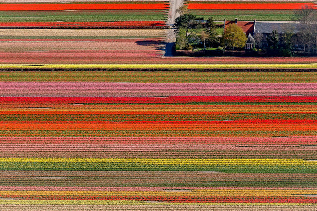 Tulips, Hyacint and Daffodils bulbfields around Keukenhof during the Keukenhof Gardens at the Keukenhof Gardens on April 10, 2019 in Lisse Netherlands (Photo by Laurens Lindhout/Soccrates/Getty Images)