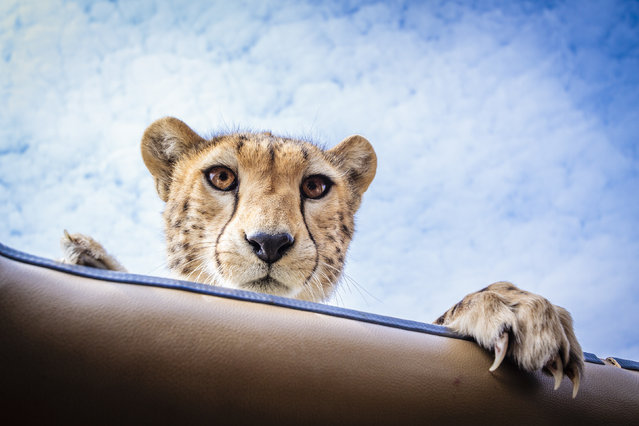 The cheetah looks straight at the photographer while peering through the roof of the safari vehicle. (Photo by Bobby-Jo Clow/Caters News)