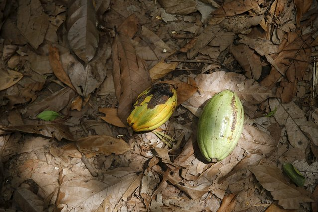 Cocoa pods are seen on the ground at a farm in Ile-Oluji village in Ondo state, southwest Nigeria March 29, 2016. (Photo by Akintunde Akinleye/Reuters)
