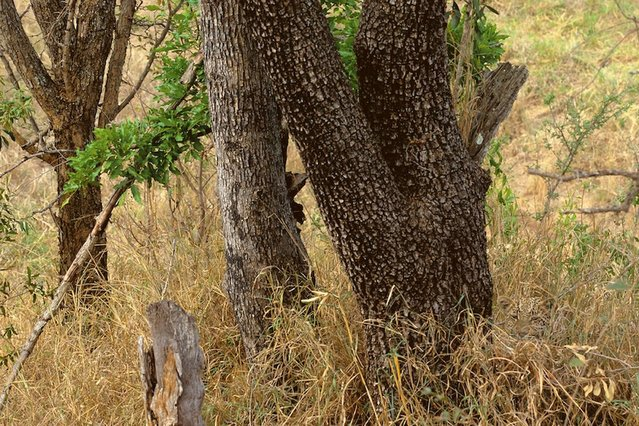 Spotted: A leopard creeping towards you – can you see him? (Photo by Caters News)