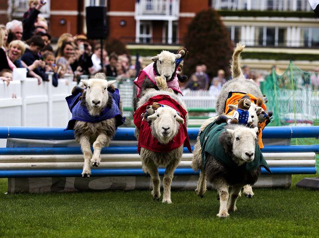 Sheep race in the Lamb National at Ascot Country Fair Raceday at Ascot Racecourse in Ascot, England, on March 30, 2014. (Photo by Tristan Fewings/Getty Images for Ascot Racecourse)